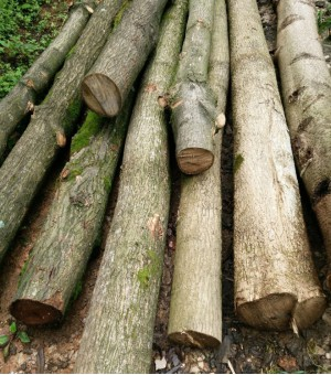 供应硬杂木杜仲厚柏、白果树、寸天柳、青木桦木、香樟杉木。