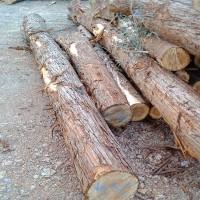 大量现价收购杉木,水杉原木