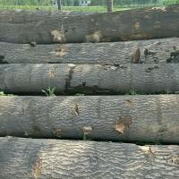 长期求购桐木原木