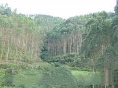 优质原木桉树