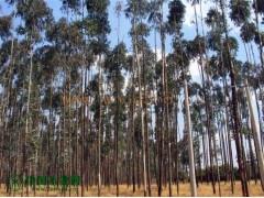 有大量桉树原木出售