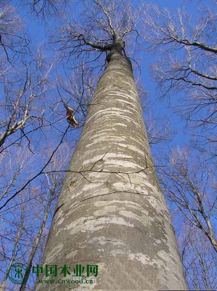 出售欧洲榉木,白橡