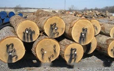 美國白橡 White oak
