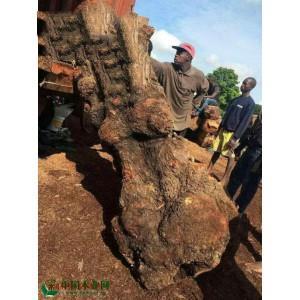冈比亚刺猬紫檀树瘤