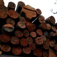 常年收购大径红椿木