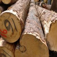 出售南非进口辐射松原木