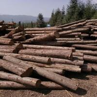 采购刺杉原木