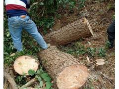 求购国产大根松木原木