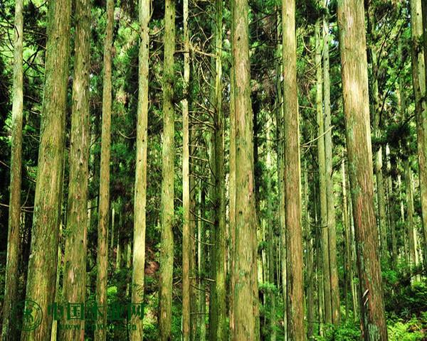 出售成材水杉原木