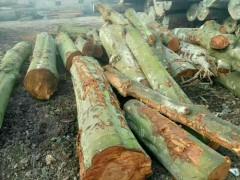 长期大量采购青冈杜木原木