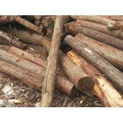 大量收购2米长柳杉、香杉