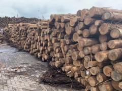 现货供应柳杉和纸浆材