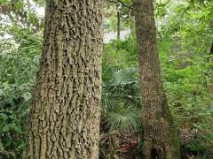 供应大叶青岗木原木