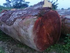 供应大口径塔利原木或者方料