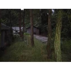 大量出售松树原木