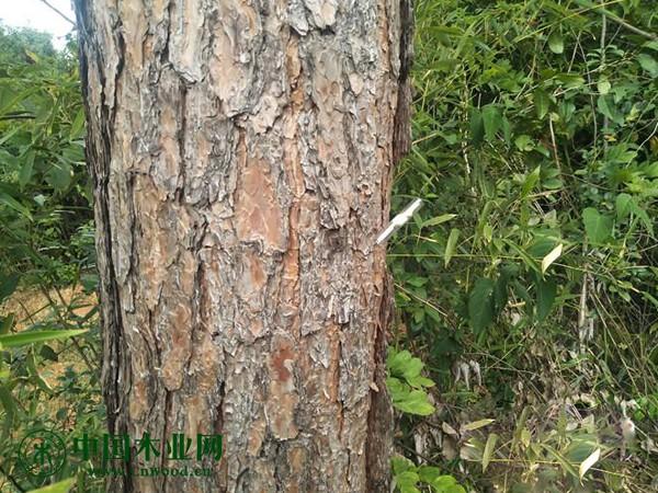 布置释放松材线虫病寄主性天敌---花绒寄甲