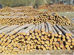 供应发落叶松打桩坑木