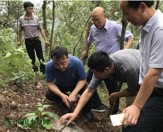 薜恩东副局长在汉阴县平梁镇界牌村除治点现场察看除治情况