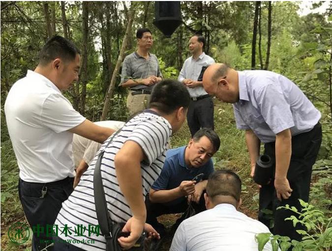薜恩东副局长在石泉县北辰森林公园现场察看树干注药对比试验情况