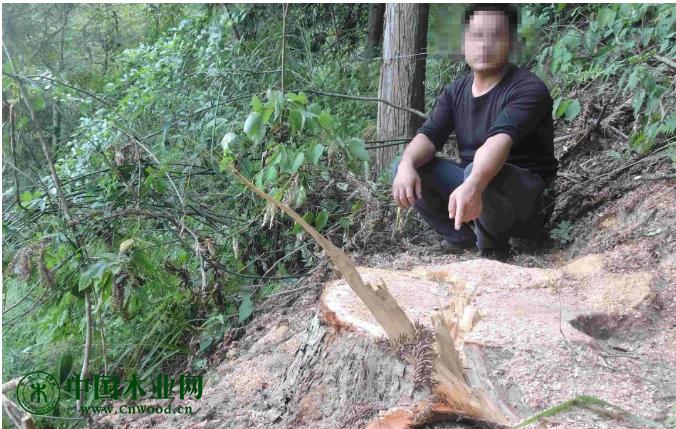 吴某江指认伐桩及被盗伐杉木