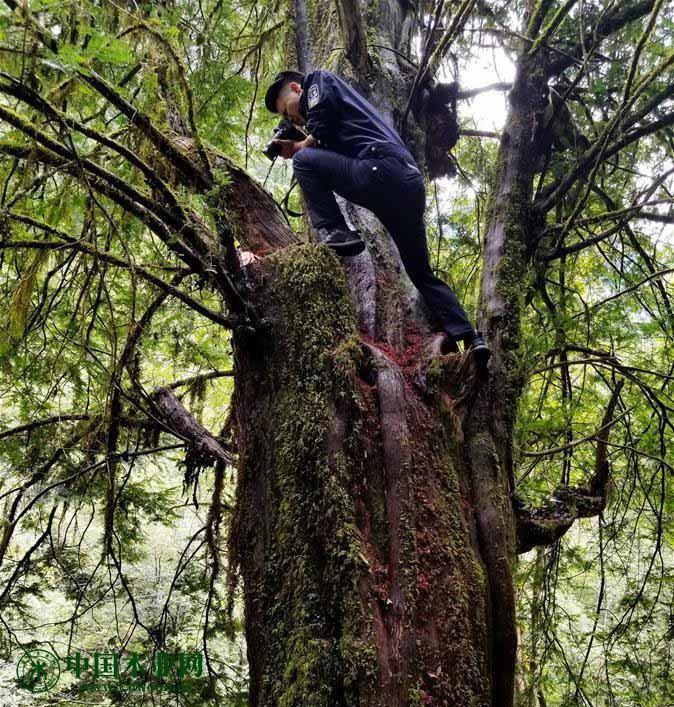 民警在四川省丹巴县红豆杉盗伐现场进行勘验