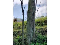 楸木,原木,板材