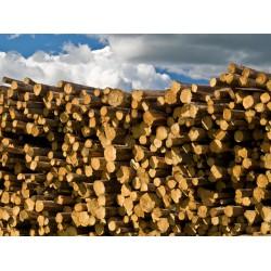 长期求购大批松树