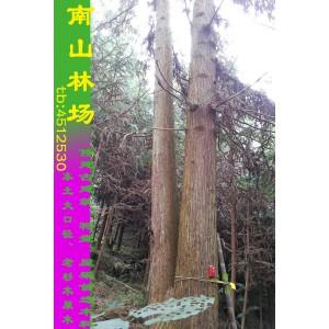 大口径杉木原木条香杉木材修建祠堂祖屋房梁首选木料可定制