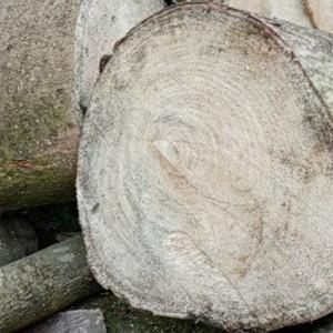 长期出售桐木原木