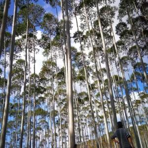 供应桉木原木