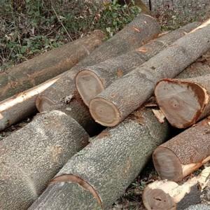 大量桐木出售