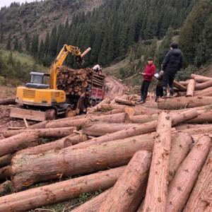 供应优质柳杉