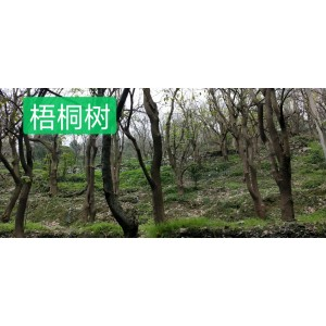 大量泡桐树原材料出售