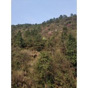 郴州20年以上原木杉木长期供应