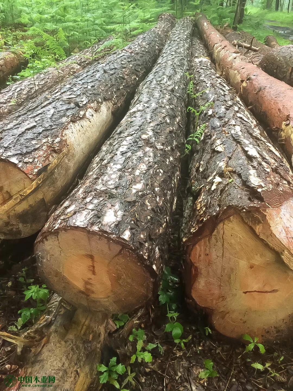 比利时特级欧洲赤松原木