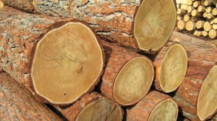 比利时特级大口径落叶松原木