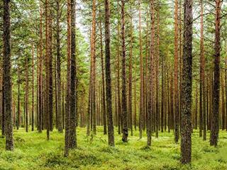桦木和松木哪个贵?桦木和松木哪个好?