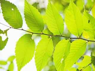 浑身是宝的救命树,却因速生树种的出现而淡出视野——榆树