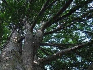 世界上最危险的树到底是谁?