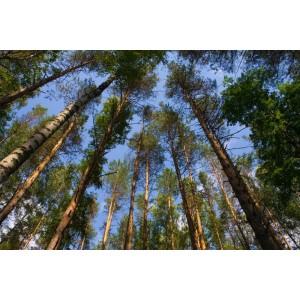 大量松树原木