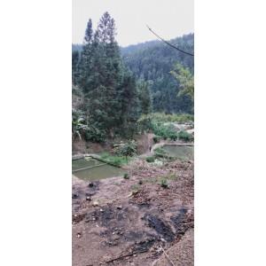 大量杉木供应