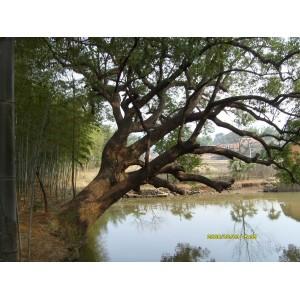 出售巨大樟树