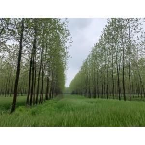 大量原生意杨树木出售