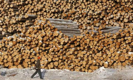 明年1月1日起,俄罗斯将取消针叶原木出口配额