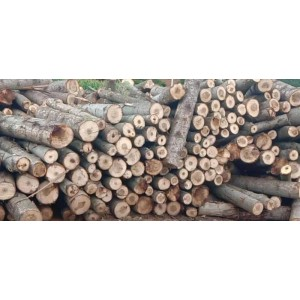 大量杨木原木出售